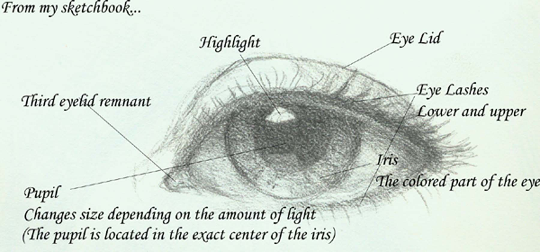 Diagram Of The Eye With Labels